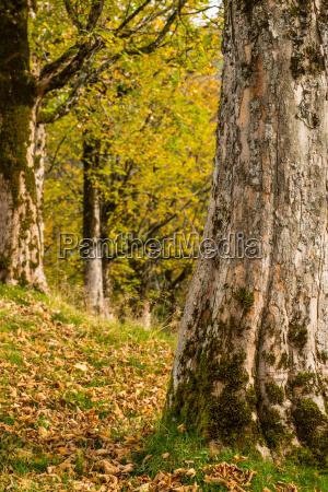 baumstamm mit rinde von einem ahornbaum