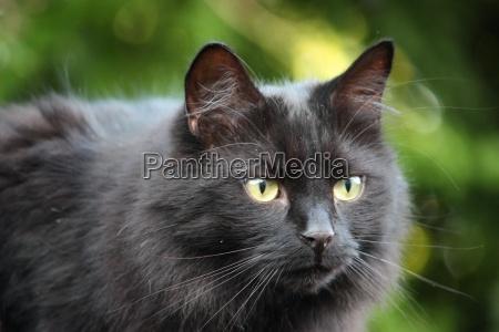 huebsche lange gelueftte schwarze pussycat beobachten