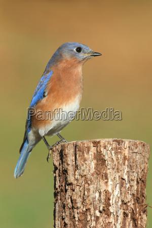 ost bluebird