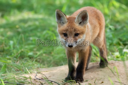 fox in a clearing