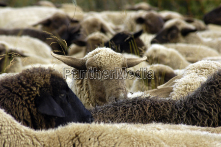 sheeplivestockfarm animalanimal husbandryanimal husbandryanimal husbandryagricultureanimalsanimal