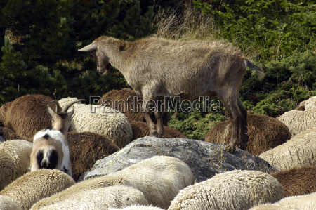 agriculture farming sheep farm animal animal