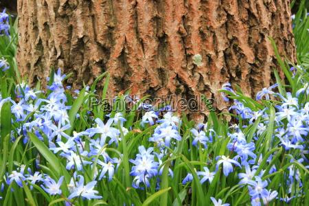 blau blume pflanze gewaechs fruehjahr outdoor