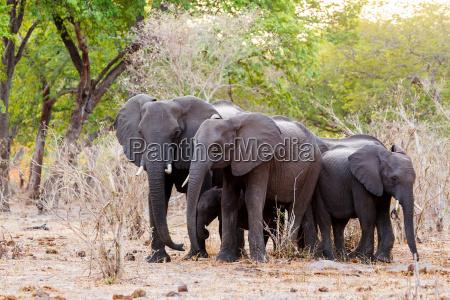eine herde von afrikanischen elefanten trinken