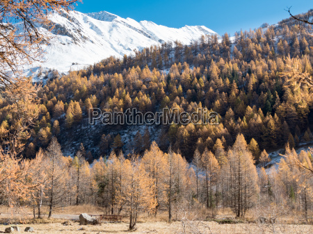 larch forest and snowy mountain in
