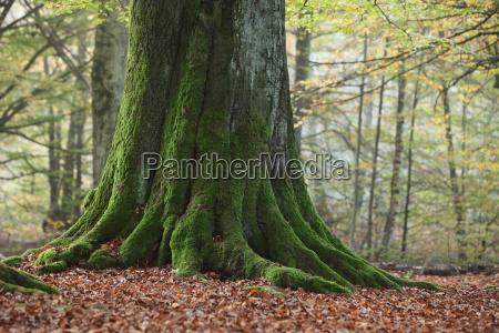 alte baeume im nationalpark reinhardswald