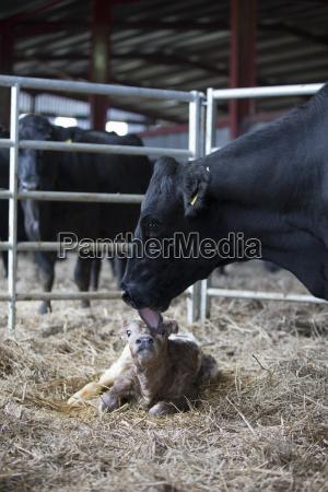 fresian kuh waschen neugeborenes kalb auf