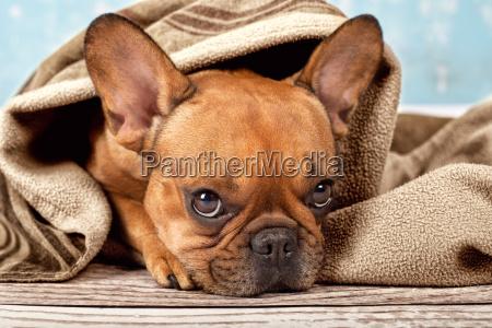 bulldogge mit kuscheldecke