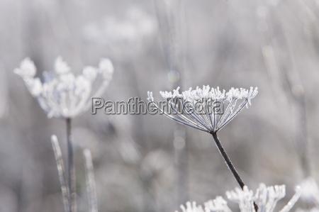 frost bedeckt wiesenkerbel stiele im winter