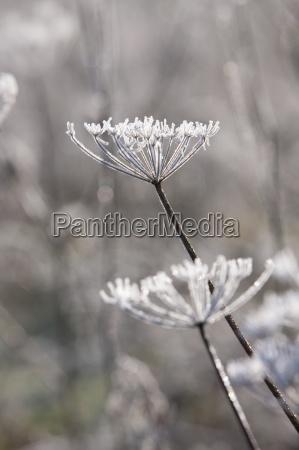 frostbedeckte kuh petersilie stiele im winter