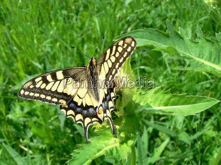 farfalla coda di rondine