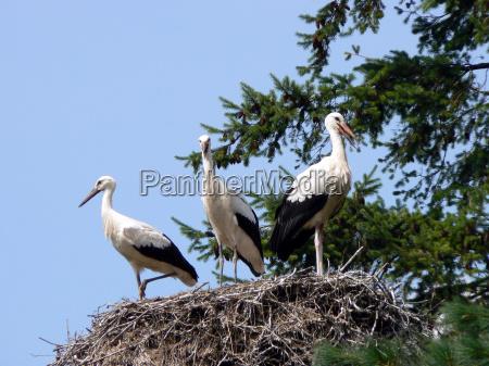 nest mit drei weissstoerchen ciconia ciconia