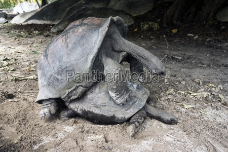seychellen riesenschildkroeten
