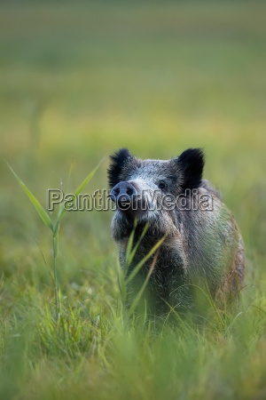 boar in the wild