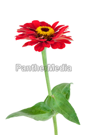 red gerbera flower with leaves on