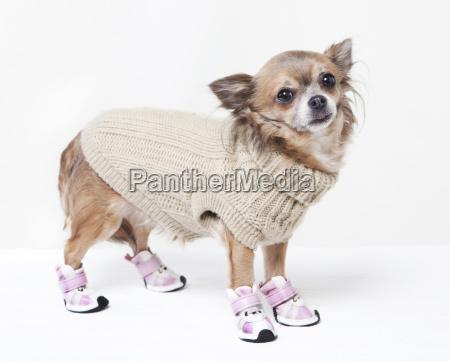 chihuahua mit winterkleidung
