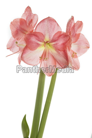 rosa amaryllis nahaufnahme