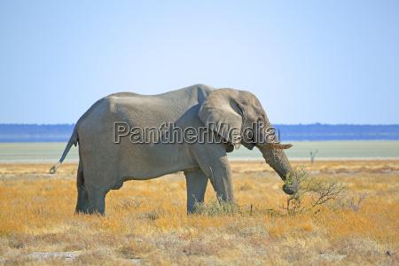 afrika suedliches afrika namibia etoscha national