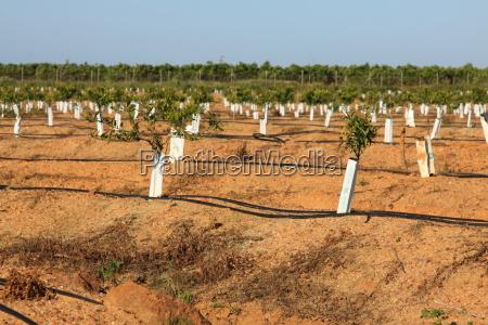 orange apfelsine pomeranze landwirtschaft ackerbau saft