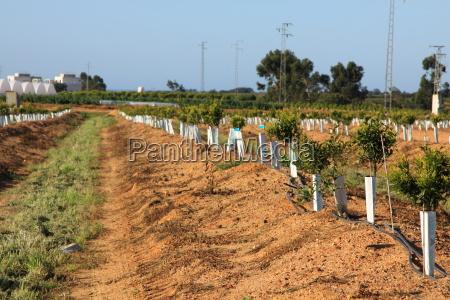 junge orangenbaeume in reihen gepflanzt