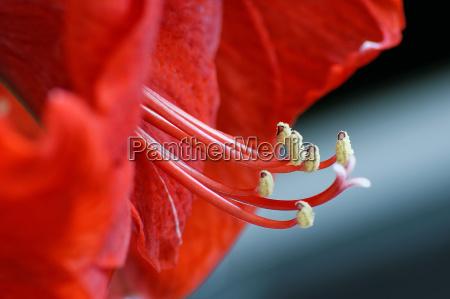 rote, amaryllis, , ritterstern - 13203046