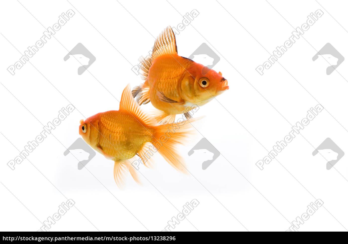Wasser fisch teich china fische zucht japan weiher for Zierfisch teich