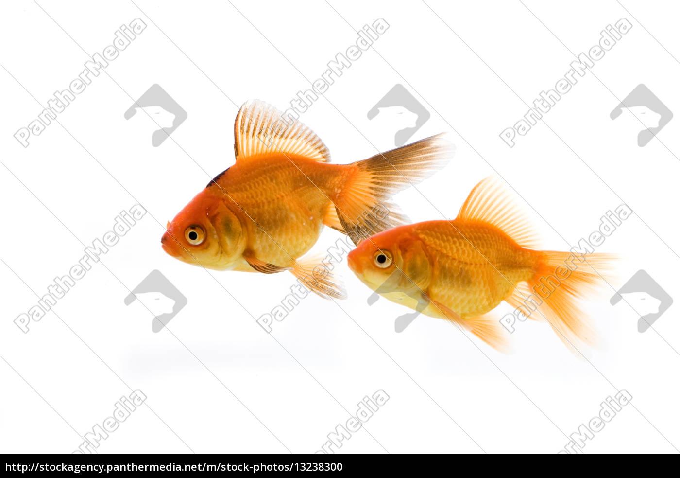 Swasser aquarium fische best liter aquarium fisch fische for Zierfisch teich