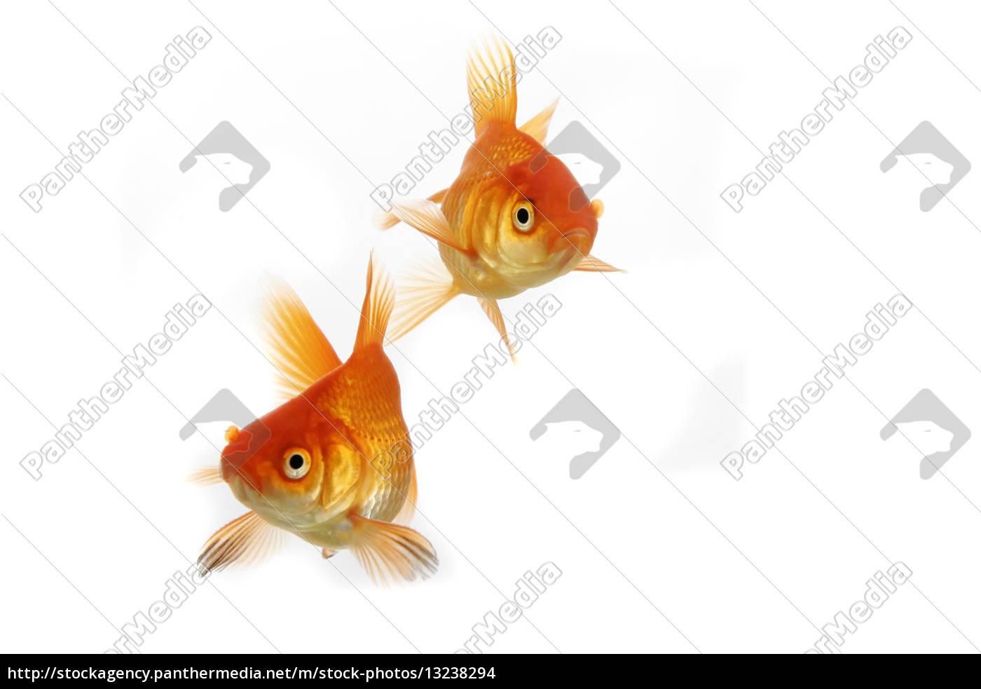 goldfisch bilder