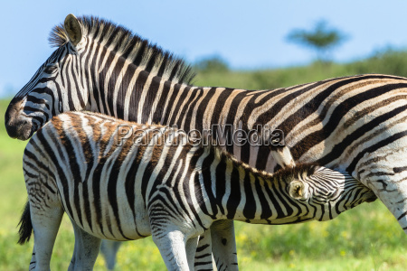 zebra calf wildlife