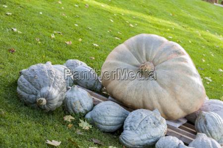 cucurbita maxima giant pumpkin cucurbita pumpkin