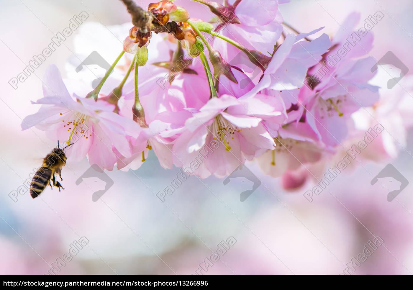 fliegen, biene, und, rosa, kirschblüten - 13266996