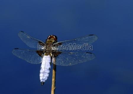 natur sommer fauna insekt libelle plattbauch