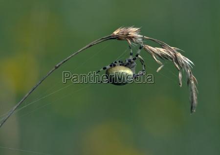 natur sommer wiese tier spinne radnetzspinne