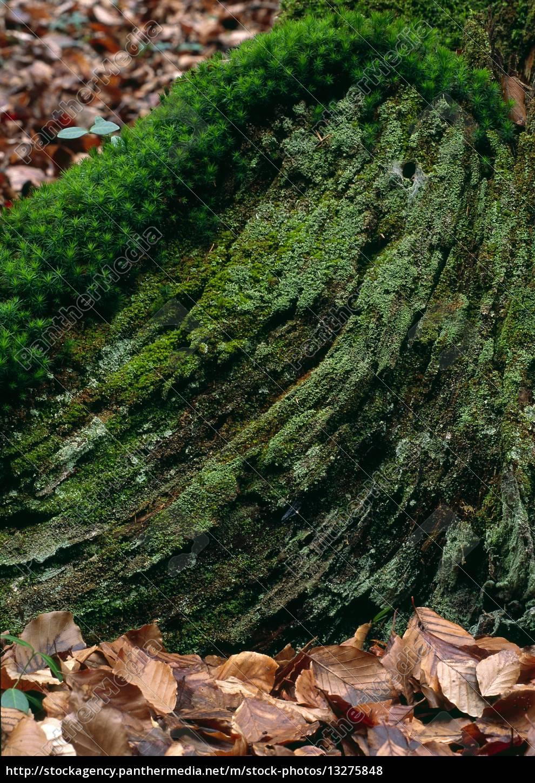 Beliebt Bevorzugt natur wald waldboden baum baumstamm baumstumpf stumpf &AN_35