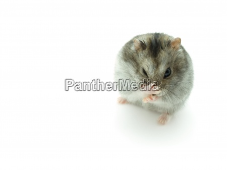 sneeze hamster isolated on white background