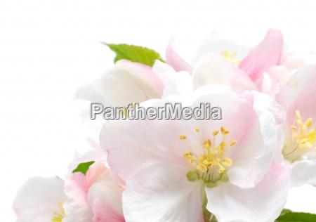 apple blossom closeupstudio isolated