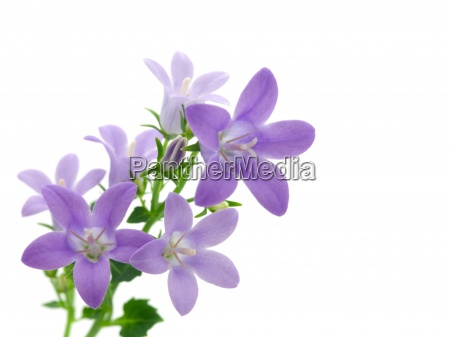 campanula flowers isolated on white with