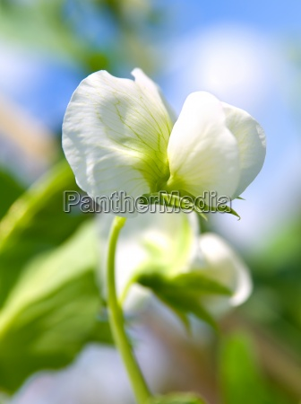 pea plant with white blooms
