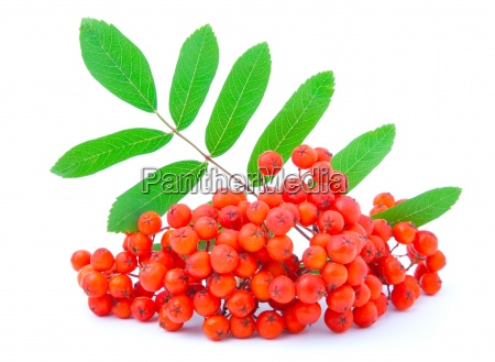 ashberry with green leaves isolated on