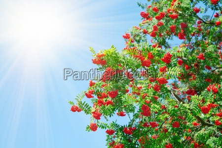 a tree with rowan berries with