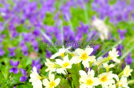 beautiful primulas on green grass in