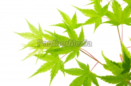 green maple leaves isolated on white