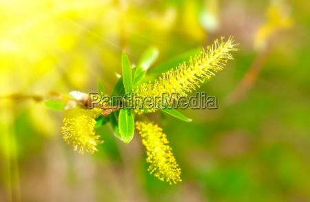macro shot of blooming willow tree