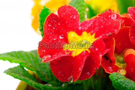 red flowering potted primrose isolated on