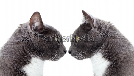 two gray cat copy space isolated