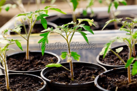 seedlings of tomato on a white