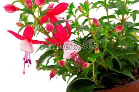 blooming fuchsia fuschia hybrida isolated on