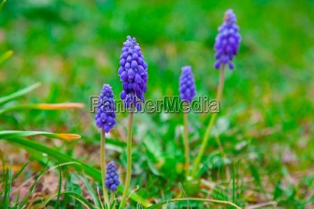 glockenblumen bluehen trauben hyazinthen muscari armeniacum