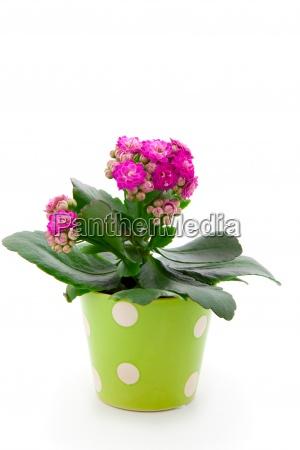 kalanchoe pflanze in einem topf