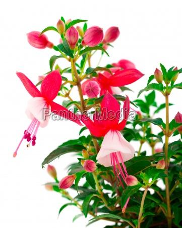 blooming fuchsia fuschia hybrida
